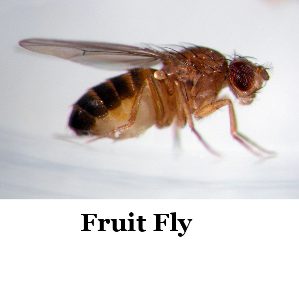 Several pictures I ve seen of Gnat traps   glass vinegar paper funnel   had  actually trapped fruit flies  not gnats. Identifying Flying Insects   ThriftyFun